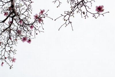 Image Japonaise, magnolia, fleurs, blanc, fond