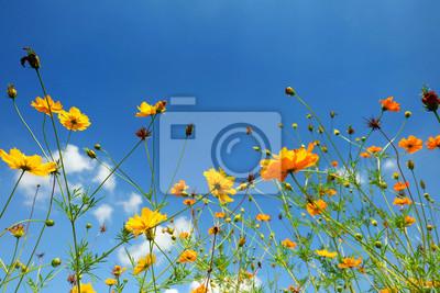 Jaune, cosmos, fleur, bleu, ciel
