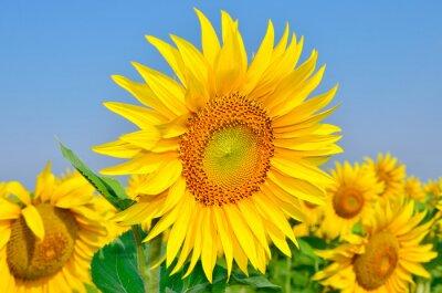 Image Jeune, tournesols, fleur, champ, contre, bleu, ciel