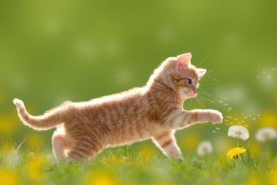 Image Junge Katze spielt mit Pusteblume / Löwenzahn
