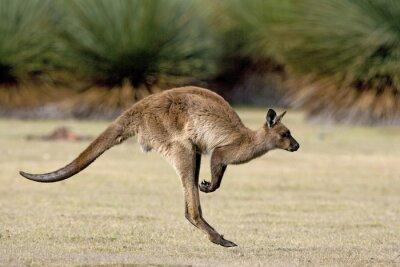 Image Kangaroo sauter dans