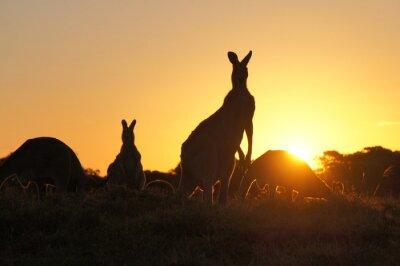Image Kangourou, silhouettes, Coucher soleil