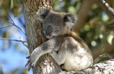Image Koala à la région de Port Stephens, NSW, Australie.