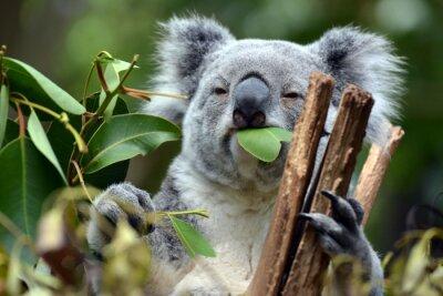 Image Koala à Lone Pine Koala Sanctuary à Brisbane, Australie