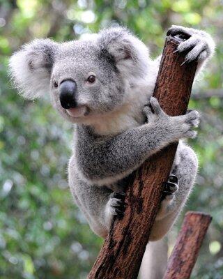 Image Koala curieux