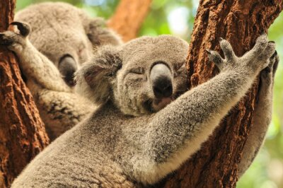 Image Koalas couchage