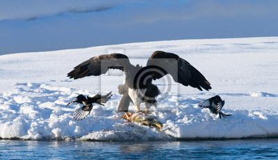 Image L'aigle chauve vole à sa proie. ETATS-UNIS. Alaska. Rivière Chilkat. Une excellente illustration.