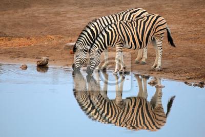 L'eau potable zèbres de plaines, le parc national d'Etosha