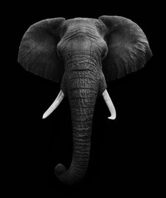 Image L'éléphant d'Afrique isolé