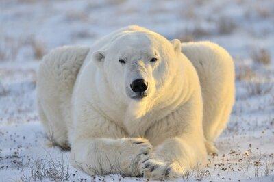 Image L'ours polaire se trouvant à la toundra.