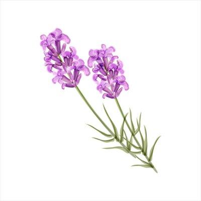 Image Lavender. Herb flower. Vector illustration