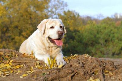 Image Le beau labrador jaune dans le parc en automne