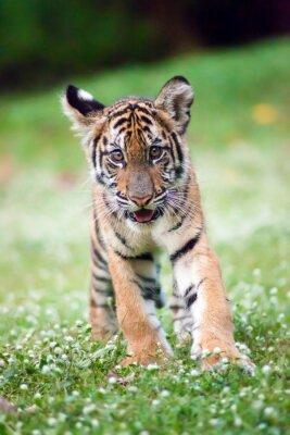 Image Le bébé tigre du Bengale se promène dans une prairie.