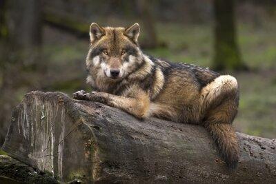 Image Le gris de loup