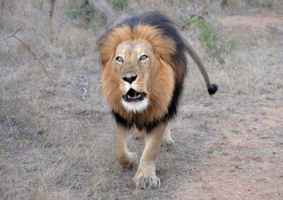 Image Le rugissement du lion