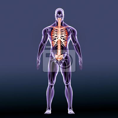 Image Le squelette axial est la partie du squelette humain qui se compose  des os de ac47ba99a93