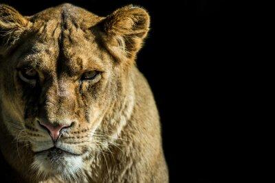 Image leone - lion