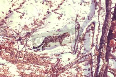 Image léopard de bord de mer, animal agressif promenades sur un sol enneigé, grand beau léopard rayé. Hiver