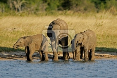 Les éléphants d'Afrique (Loxodonta africana)