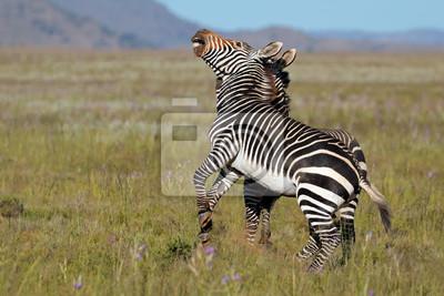 Les étalons de zèbres de montagne du Cap (Equus zebra), le parc national de Mountain Zebra, l'Afrique du Sud.