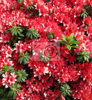 Les Fleurs Rouges Azalea Dans Un Jardin Japonais Contexte