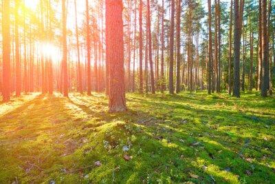 Image Lever du soleil dans la forêt de pins