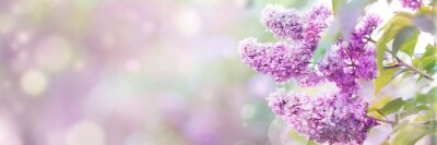 Image Lilac flowers spring blossom, sunny day light bokeh background