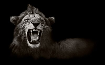 Image Lion affichant les dents dangereuses