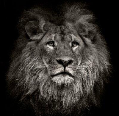 Image lion arrogante