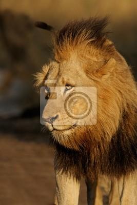 Lion d'Afrique (Panthera leo), Sabie Sand-n / r, l'Afrique du Sud