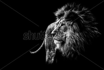 Image lion in black and white