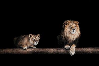 Image Lion, lionne, portrait, beau, lions, lions, da