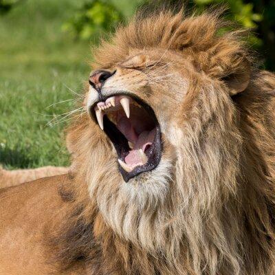 Image Lion mâle ayant un bâillement