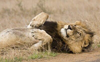 Image lion mâle couché dans la brousse, Kruger, Afrique du Sud