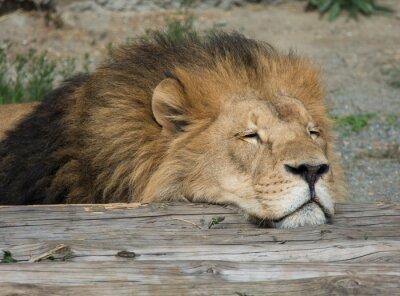 Image Lion sommeil