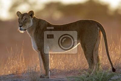 Lionne rétro-éclairé (Panthera leo)