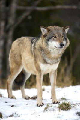 Image Loup debout dans la forêt d'hiver froid