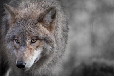Image Loup gris Portrait 4