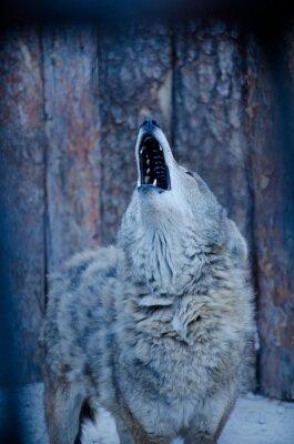 Image Loup hurleur (dans les tons bleus, style rétro, DOF peu profond)
