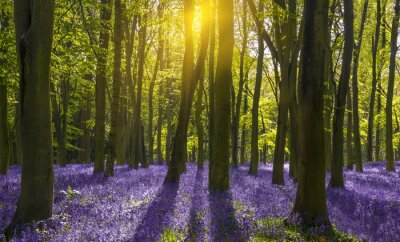 Image Lumière du soleil jette des ombres à travers jacinthes dans un bois