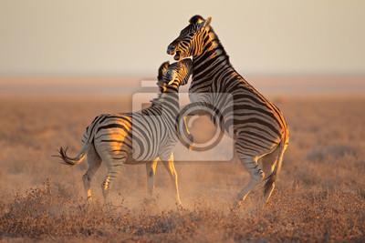 Lutter contre Zèbres, Parc National d'Etosha