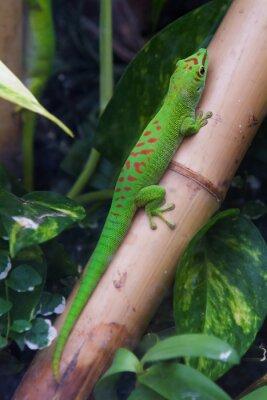 Image Madagascar géant jour gecko