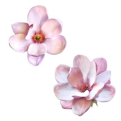 Image magnifique magnolia, fleur de printemps isolés
