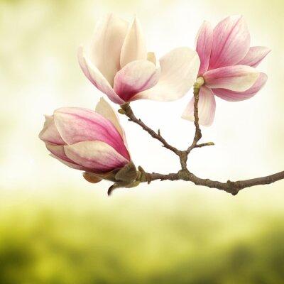 Image magnolia