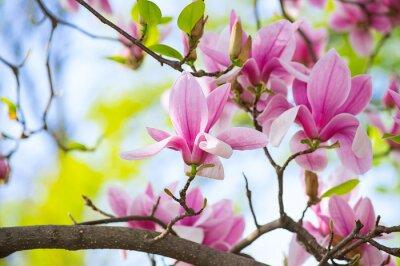 Image Magnolia fleurs dans le parc