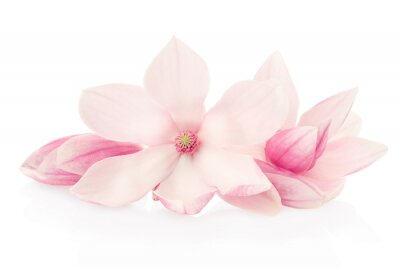 Image Magnolia, fleurs et bourgeons roses groupe sur blanc, chemin de détourage