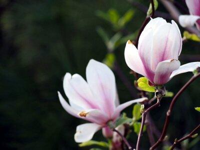 Image Magnolia x soulangeana 'Alexandrina'