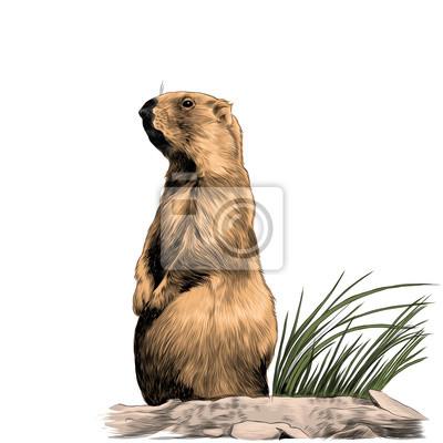 Marmotte Ecureuil Ecureuil Croquis Graphiques Vectoriels Couleur