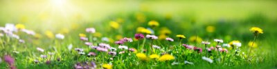 Image Meadow with lots of white and pink spring daisy flowers and yellow dandelions in sunny day