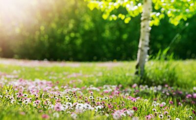 Image Meadow with lots of white and pink spring daisy flowers in sunny day